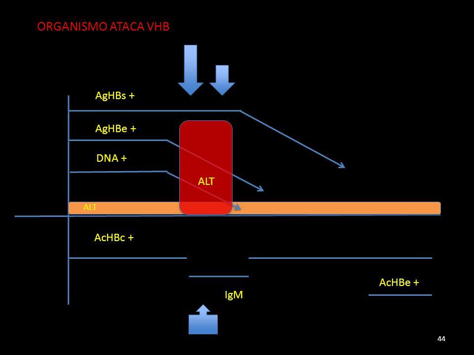 AgHBs + AgHBe + DNA + AcHBc + IgM AcHBe + ALT 44 ORGANISMO ATACA VHB