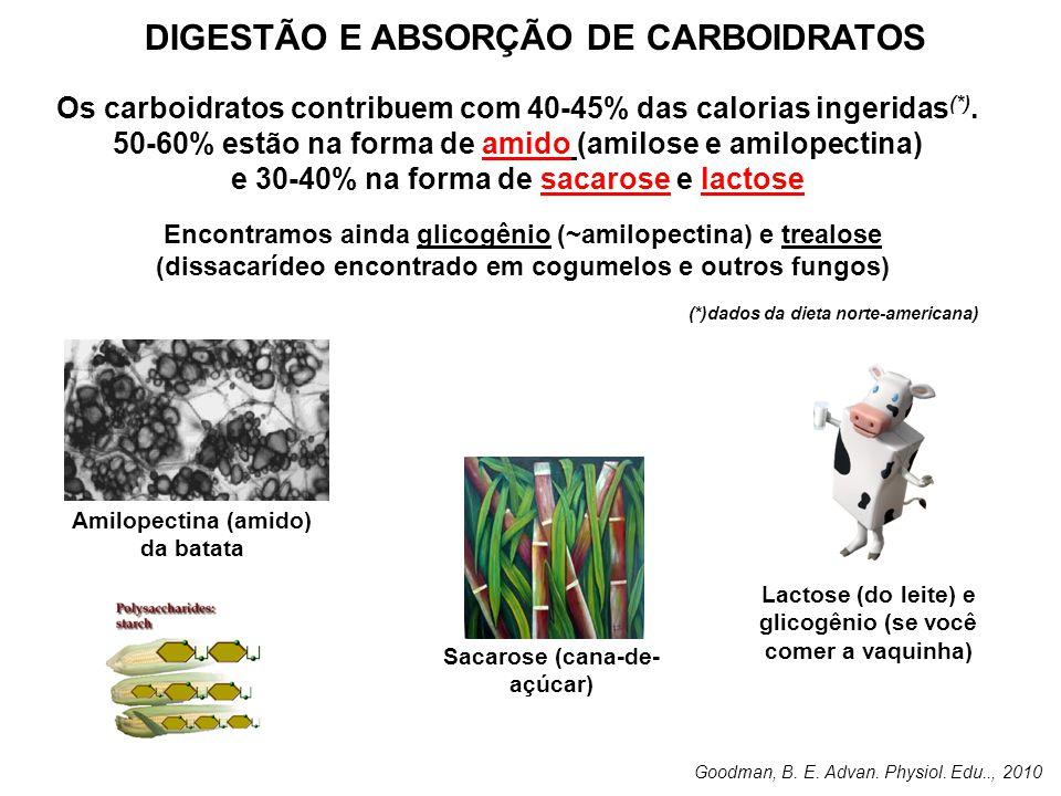 DIGESTÃO E ABSORÇÃO DE CARBOIDRATOS Amilopectina (amido) da batata Os carboidratos contribuem com 40-45% das calorias ingeridas (*). 50-60% estão na f
