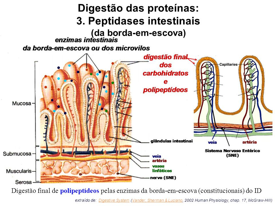 extraído de: Digestive System (Vander, Sherman & Luciano, 2002 Human Physiology, chap.