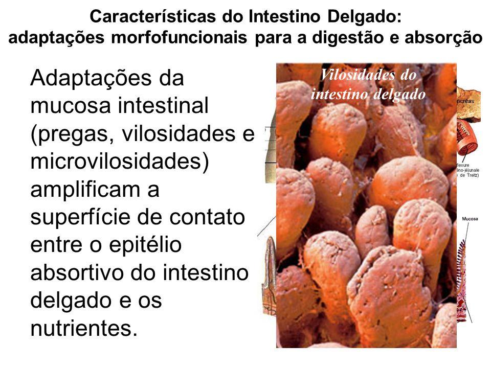Características do Intestino Delgado: adaptações morfofuncionais para a digestão e absorção Adaptações da mucosa intestinal (pregas, vilosidades e mic
