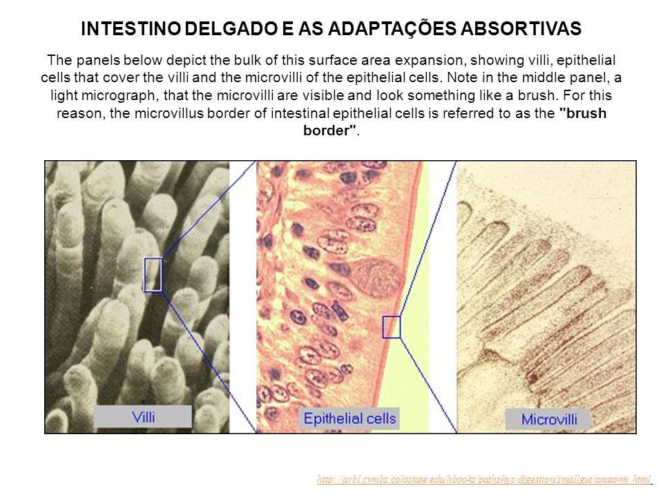 Características do Intestino Delgado: adaptações morfofuncionais para a digestão e absorção http://www.mc.vanderbilt.edu/histology/ Existência de uma densa rede de capilares, vênulas e ductos lacteais que permeiam os vilos intestinais permitindo, assim, o aporte de substâncias e a drenagem dos nutrientes, água e eletrólitos absorvidos pelo epitélio intestinal.