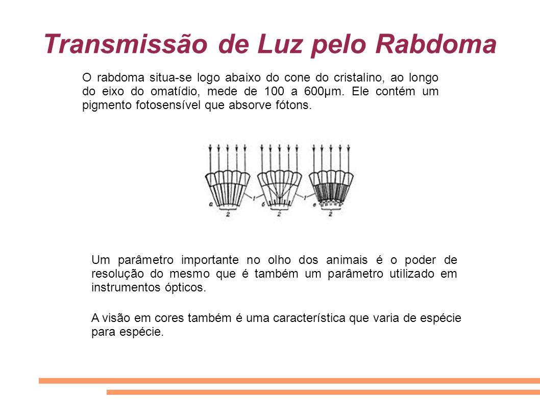 Transmissão de Luz pelo Rabdoma O rabdoma situa-se logo abaixo do cone do cristalino, ao longo do eixo do omatídio, mede de 100 a 600μm. Ele contém um