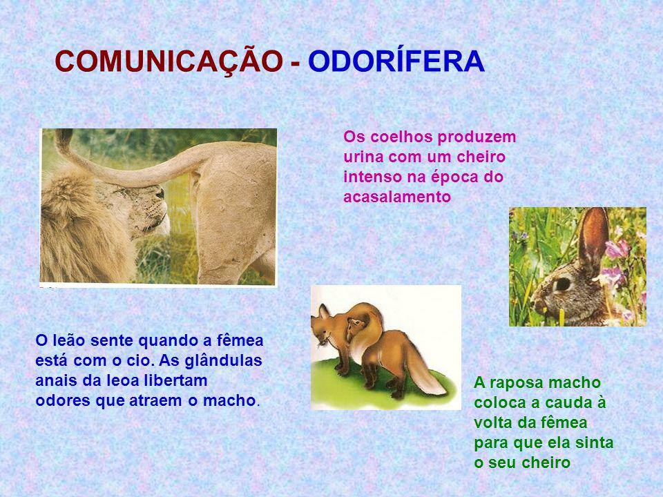 COMUNICAÇÃO - ODORÍFERA Os coelhos produzem urina com um cheiro intenso na época do acasalamento O leão sente quando a fêmea está com o cio. As glându