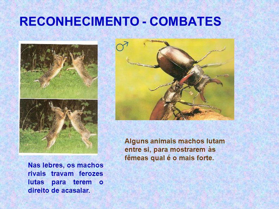 RECONHECIMENTO - COMBATES Alguns animais machos lutam entre si, para mostrarem às fêmeas qual é o mais forte. Nas lebres, os machos rivais travam fero