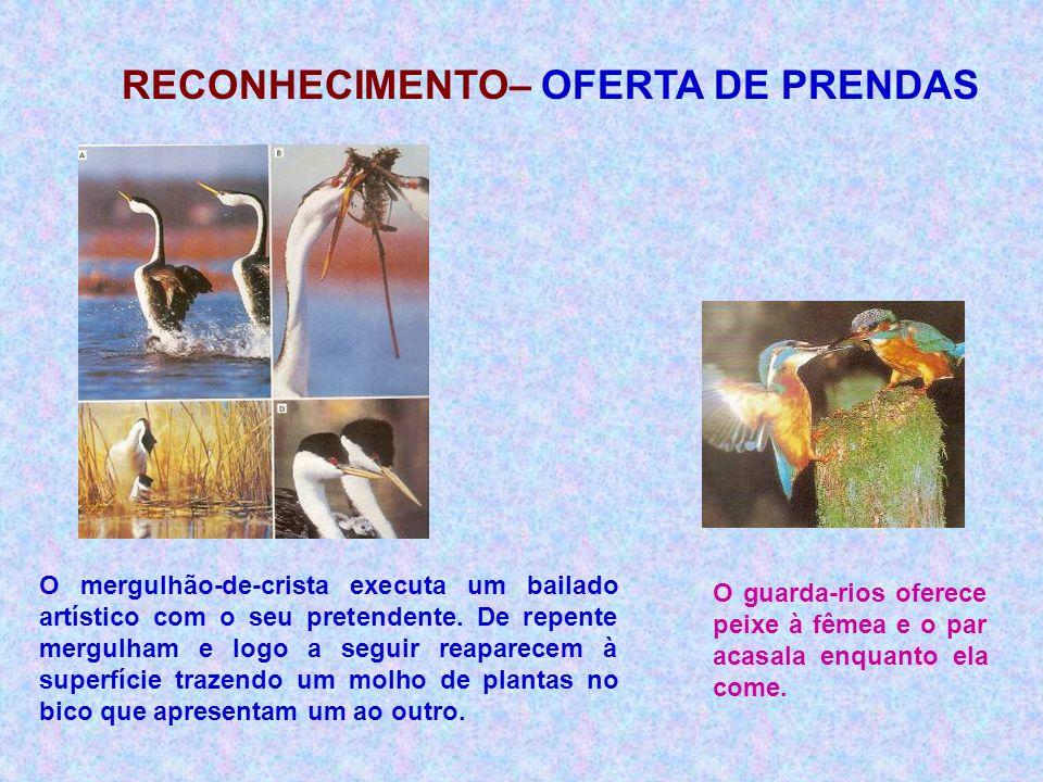 O guarda-rios oferece peixe à fêmea e o par acasala enquanto ela come. O mergulhão-de-crista executa um bailado artístico com o seu pretendente. De re