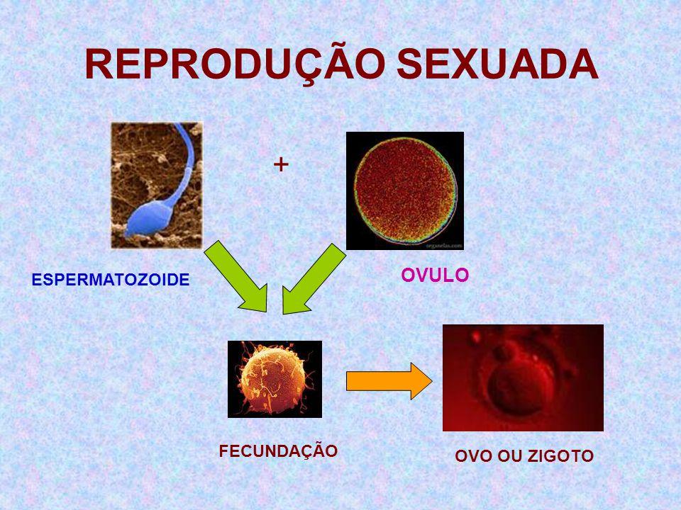 REPRODUÇÃO SEXUADA + ESPERMATOZOIDE OVULO FECUNDAÇÃO OVO OU ZIGOTO