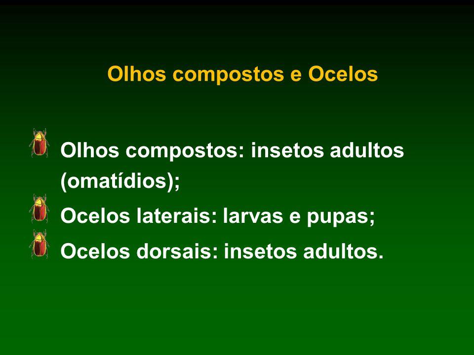 Olhos compostos e Ocelos Olhos compostos: insetos adultos (omatídios); Ocelos laterais: larvas e pupas; Ocelos dorsais: insetos adultos.