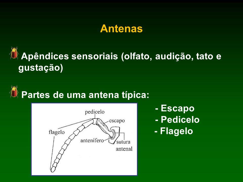 Antenas Apêndices sensoriais (olfato, audição, tato e gustação) Partes de uma antena típica: - Escapo - Pedicelo - Flagelo