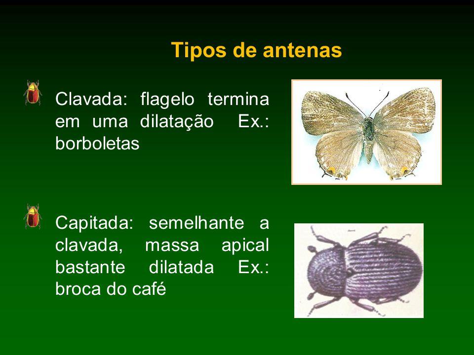 Tipos de antenas Clavada: flagelo termina em uma dilatação Ex.: borboletas Capitada: semelhante a clavada, massa apical bastante dilatada Ex.: broca do café
