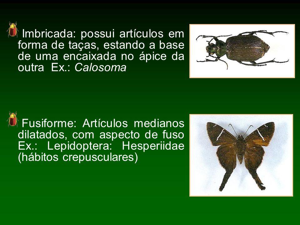 Imbricada: possui artículos em forma de taças, estando a base de uma encaixada no ápice da outra Ex.: Calosoma Fusiforme: Artículos medianos dilatados, com aspecto de fuso Ex.: Lepidoptera: Hesperiidae (hábitos crepusculares)