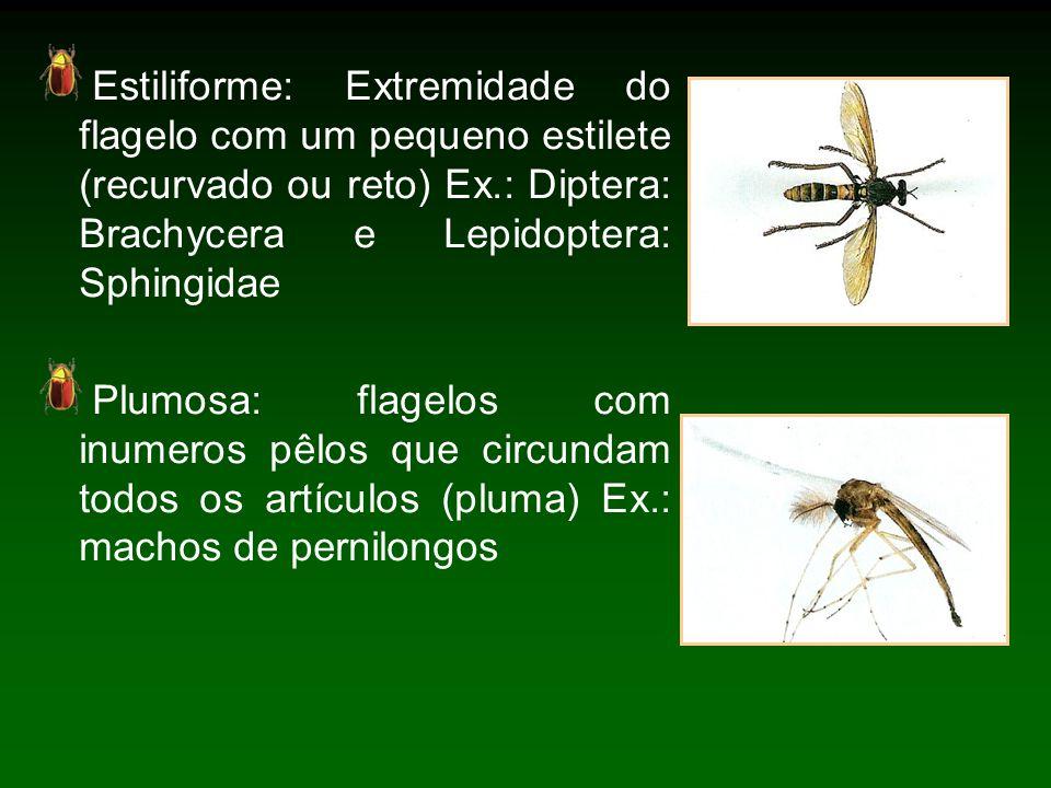 Estiliforme: Extremidade do flagelo com um pequeno estilete (recurvado ou reto) Ex.: Diptera: Brachycera e Lepidoptera: Sphingidae Plumosa: flagelos com inumeros pêlos que circundam todos os artículos (pluma) Ex.: machos de pernilongos