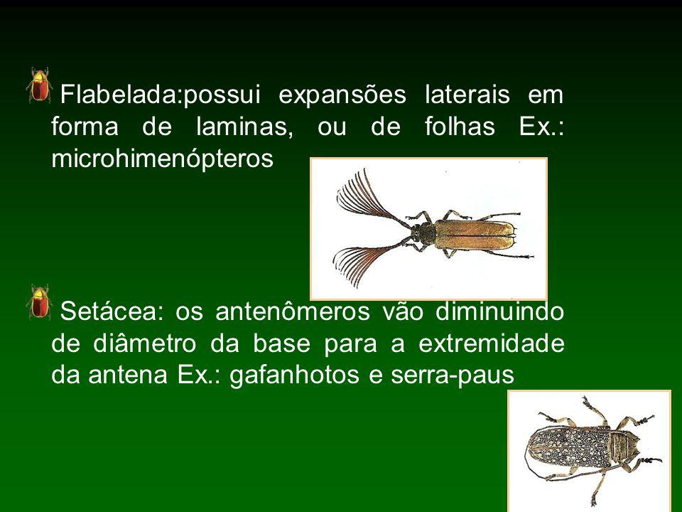 Flabelada:possui expansões laterais em forma de laminas, ou de folhas Ex.: microhimenópteros Setácea: os antenômeros vão diminuindo de diâmetro da base para a extremidade da antena Ex.: gafanhotos e serra-paus