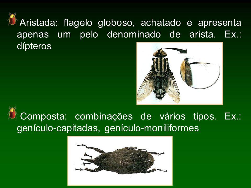 Aristada: flagelo globoso, achatado e apresenta apenas um pelo denominado de arista.