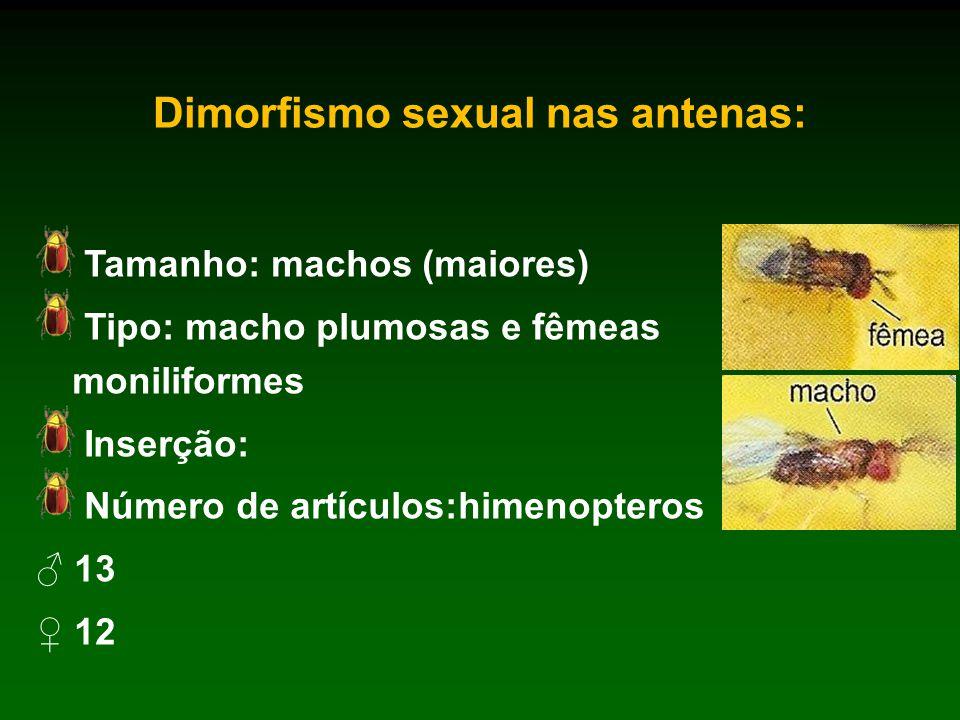 Dimorfismo sexual nas antenas: Tamanho: machos (maiores) Tipo: macho plumosas e fêmeas moniliformes Inserção: Número de artículos:himenopteros ♂ 13 ♀ 12