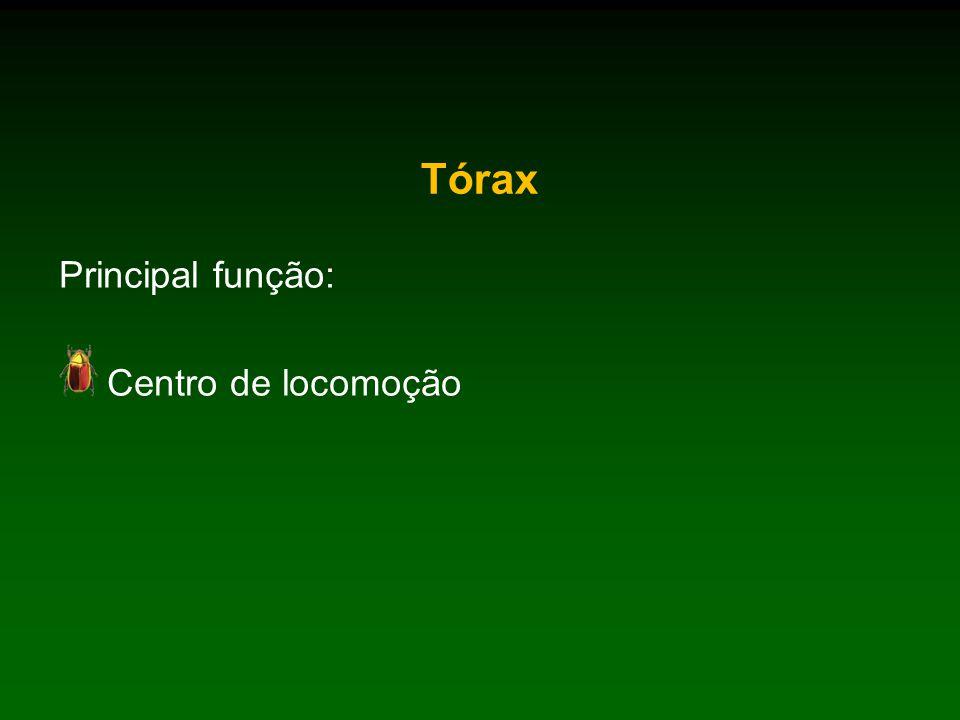 Tórax Principal função: Centro de locomoção