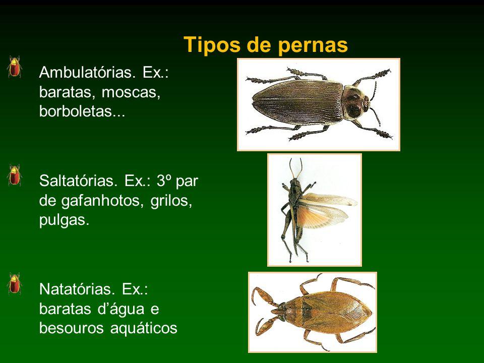 Tipos de pernas Ambulatórias.Ex.: baratas, moscas, borboletas...