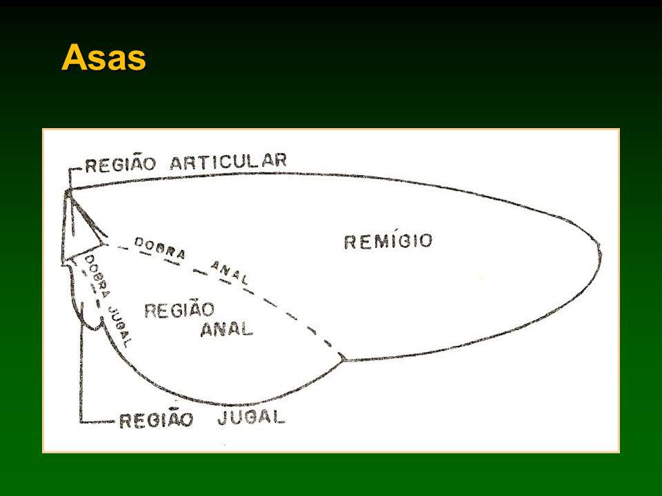 Tipos de asas Membranosas.Ex.: 2º par da maioria dos insetos Tégminas.