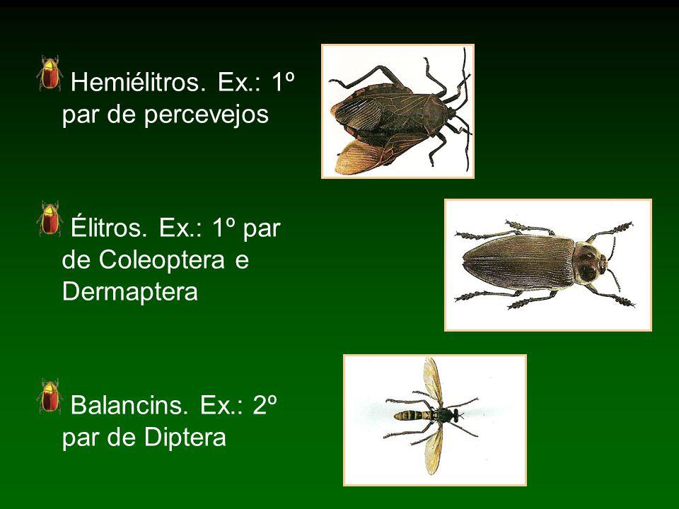Hemiélitros.Ex.: 1º par de percevejos Élitros. Ex.: 1º par de Coleoptera e Dermaptera Balancins.