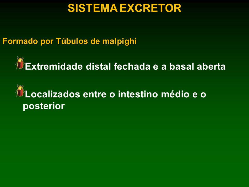 SISTEMA EXCRETOR Formado por Túbulos de malpighi Extremidade distal fechada e a basal aberta Localizados entre o intestino médio e o posterior