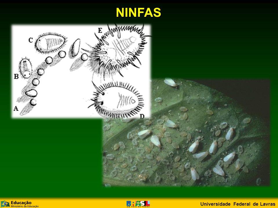 NINFAS Universidade Federal de Lavras