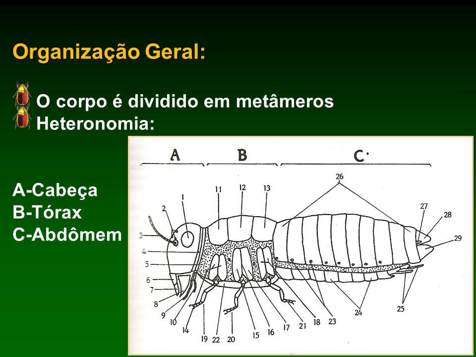 Organização Geral: O corpo é dividido em metâmeros Heteronomia: A-Cabeça B-Tórax C-Abdômem