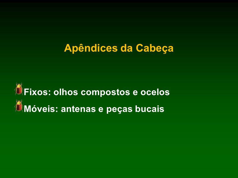 Apêndices da Cabeça Fixos: olhos compostos e ocelos Móveis: antenas e peças bucais