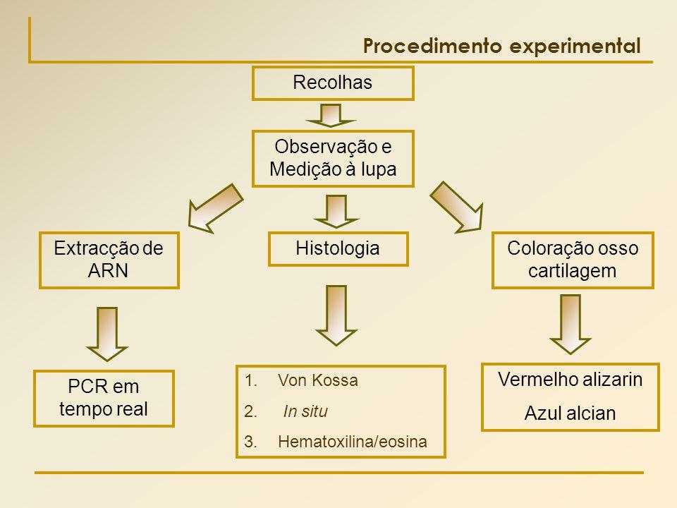 PCR em tempo real Procedimento experimental Recolhas Vermelho alizarin Azul alcian 1.Von Kossa 2. In situ 3.Hematoxilina/eosina Observação e Medição à