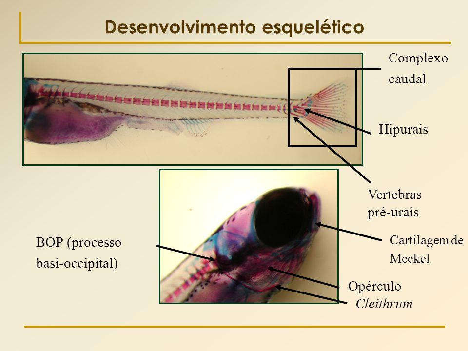 Cleithrum Opérculo Cartilagem de Meckel Complexo caudal Vertebras pré-urais BOP (processo basi-occipital) Hipurais Desenvolvimento esquelético