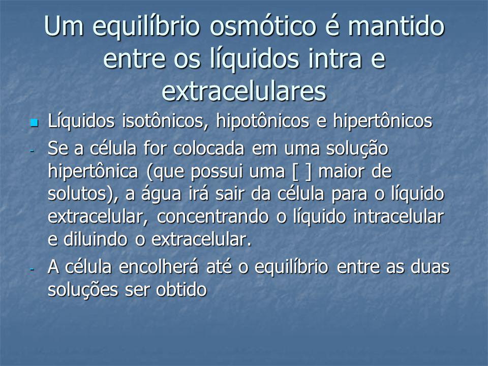 Um equilíbrio osmótico é mantido entre os líquidos intra e extracelulares  Líquidos isotônicos, hipotônicos e hipertônicos - Se a célula for colocada