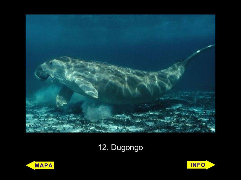 12. Dugongo