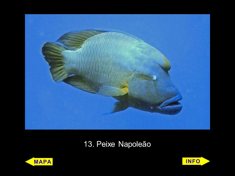 13. Peixe Napoleão