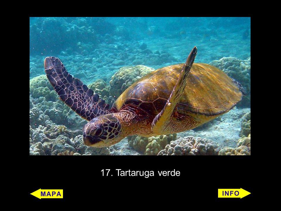 17. Tartaruga verde