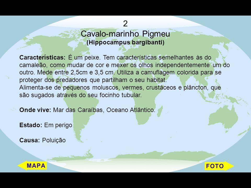 2 Cavalo-marinho Pigmeu (Hippocampus bargibanti) Características: É um peixe. Tem características semelhantes às do camaleão, como mudar de cor e mexe