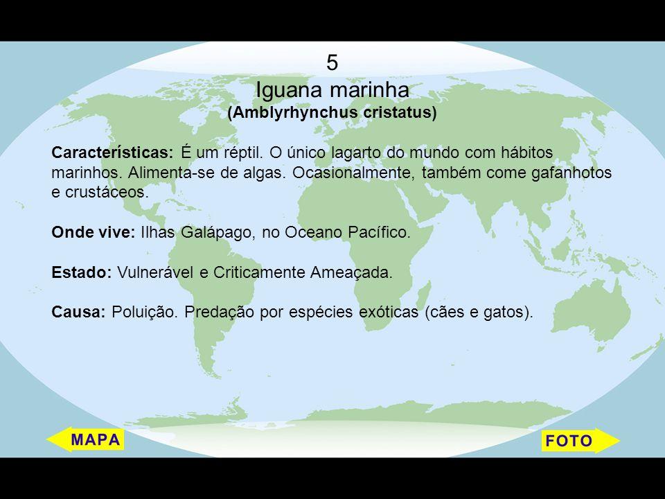 5 Iguana marinha (Amblyrhynchus cristatus) Características: É um réptil. O único lagarto do mundo com hábitos marinhos. Alimenta-se de algas. Ocasiona