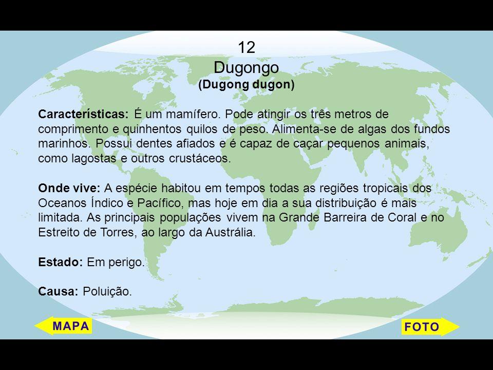 12 Dugongo (Dugong dugon) Características: É um mamífero. Pode atingir os três metros de comprimento e quinhentos quilos de peso. Alimenta-se de algas