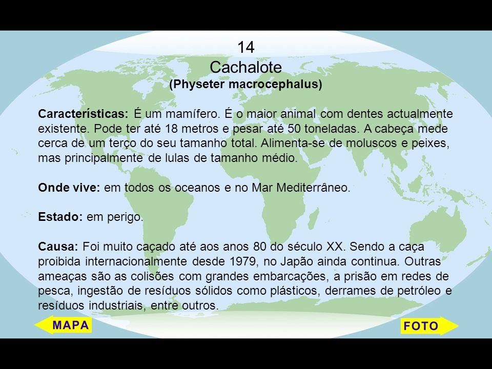14 Cachalote (Physeter macrocephalus) Características: É um mamífero. É o maior animal com dentes actualmente existente. Pode ter até 18 metros e pesa