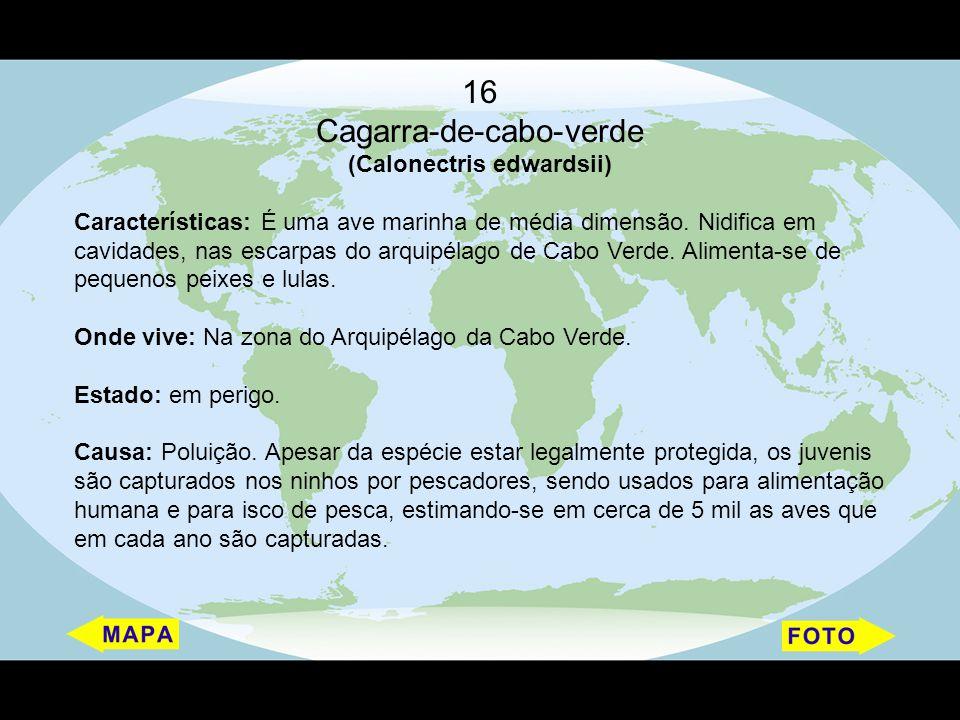 16 Cagarra-de-cabo-verde (Calonectris edwardsii) Características: É uma ave marinha de média dimensão. Nidifica em cavidades, nas escarpas do arquipél