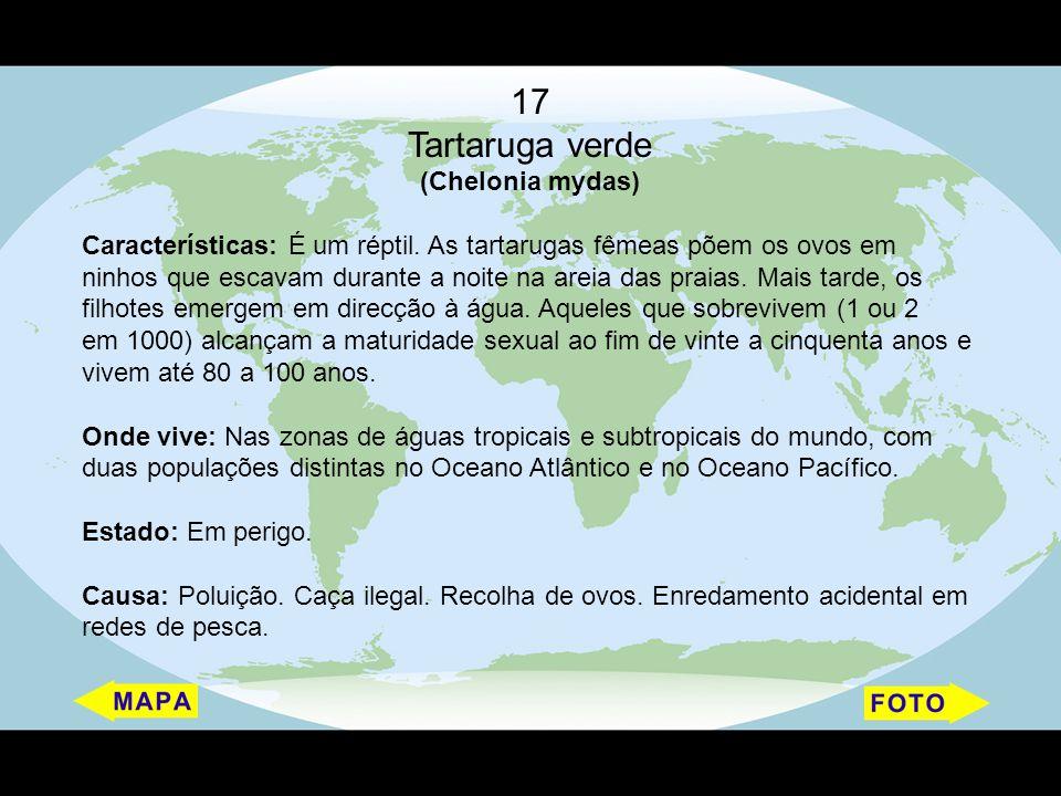 17 Tartaruga verde (Chelonia mydas) Características: É um réptil. As tartarugas fêmeas põem os ovos em ninhos que escavam durante a noite na areia das