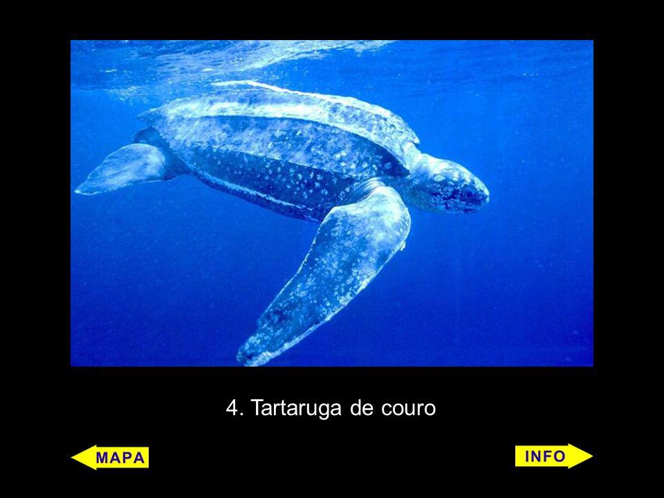 7 Tubarão-baleia (Rhincodon typus) Características: É um peixe, conhecido como o maior do mundo, mas pouco se sabe sobre ele.