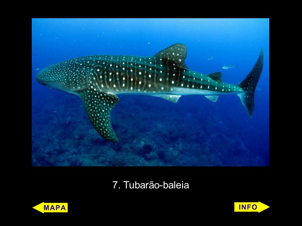 10 Baleia-azul (Balaenoptera musculus) Características: É um mamífero.