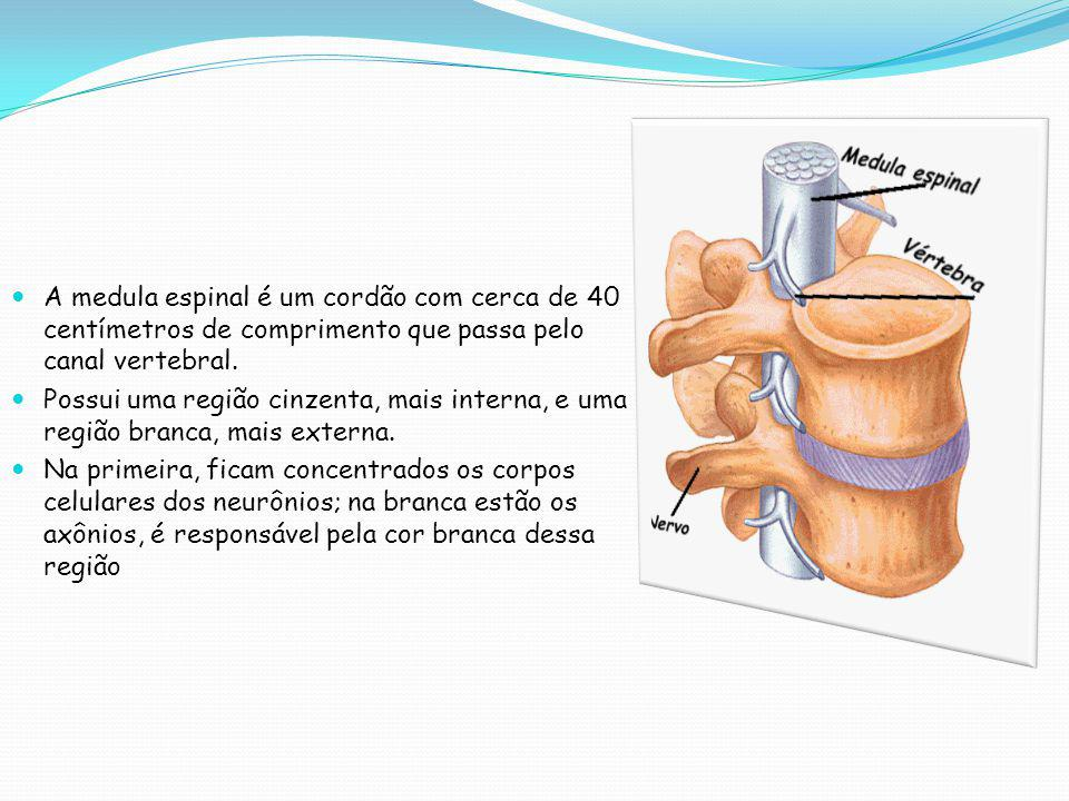  A medula espinal é um cordão com cerca de 40 centímetros de comprimento que passa pelo canal vertebral.  Possui uma região cinzenta, mais interna,