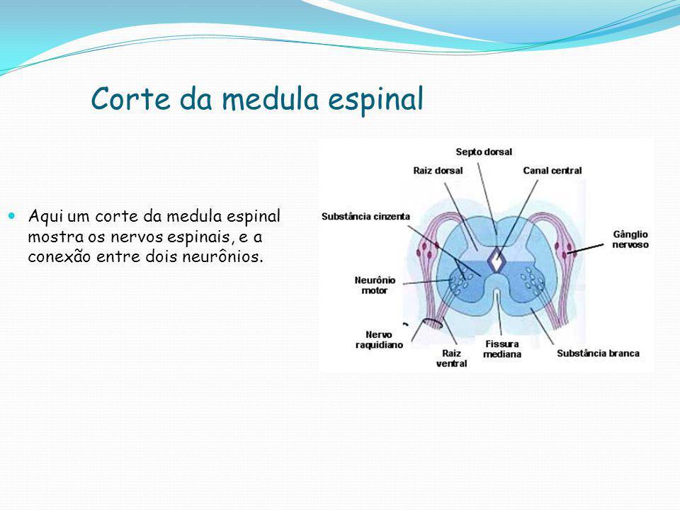 Corte da medula espinal  Aqui um corte da medula espinal mostra os nervos espinais, e a conexão entre dois neurônios.