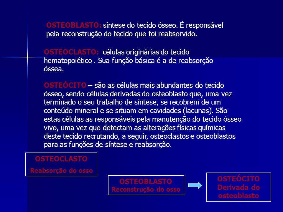 OSTEOBLASTO: síntese do tecido ósseo.