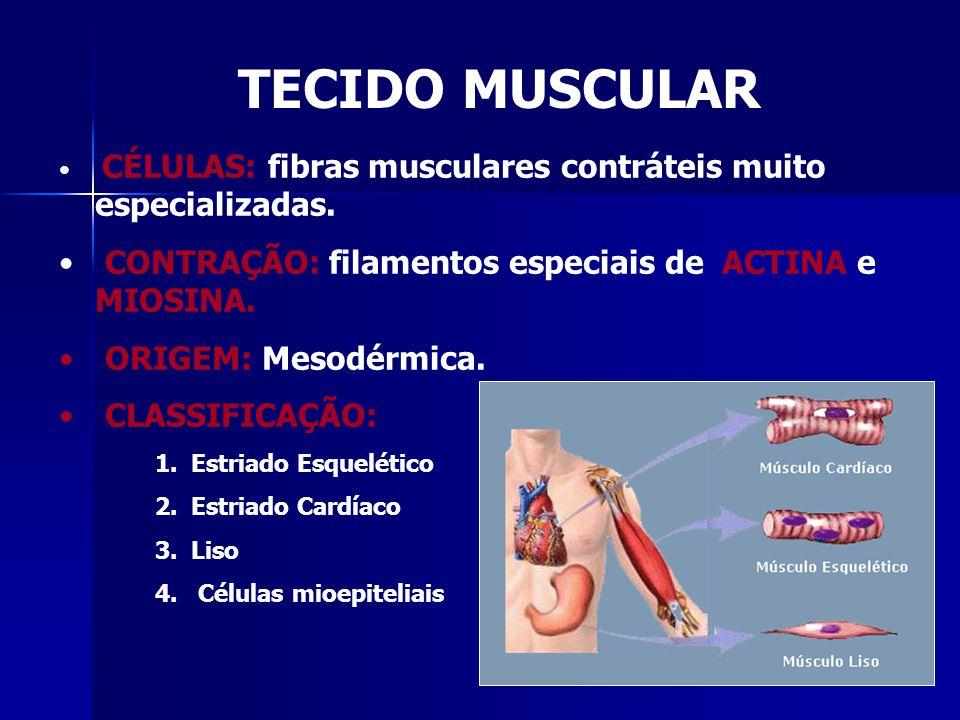TECIDO MUSCULAR • CÉLULAS: fibras musculares contráteis muito especializadas. • CONTRAÇÃO: filamentos especiais de ACTINA e MIOSINA. • ORIGEM: Mesodér