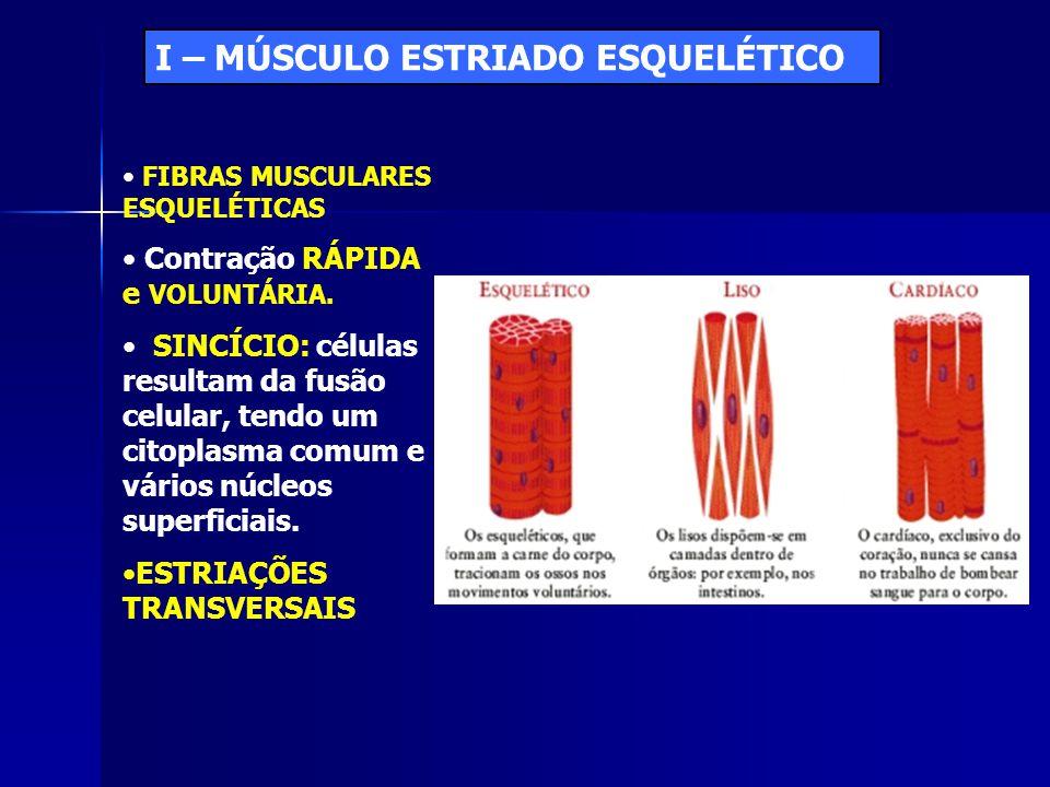 I – MÚSCULO ESTRIADO ESQUELÉTICO • FIBRAS MUSCULARES ESQUELÉTICAS • Contração RÁPIDA e VOLUNTÁRIA. • SINCÍCIO: células resultam da fusão celular, tend