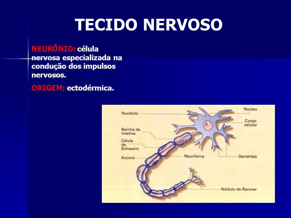 TECIDO NERVOSO NEURÔNIO: célula nervosa especializada na condução dos impulsos nervosos. ORIGEM: ectodérmica.