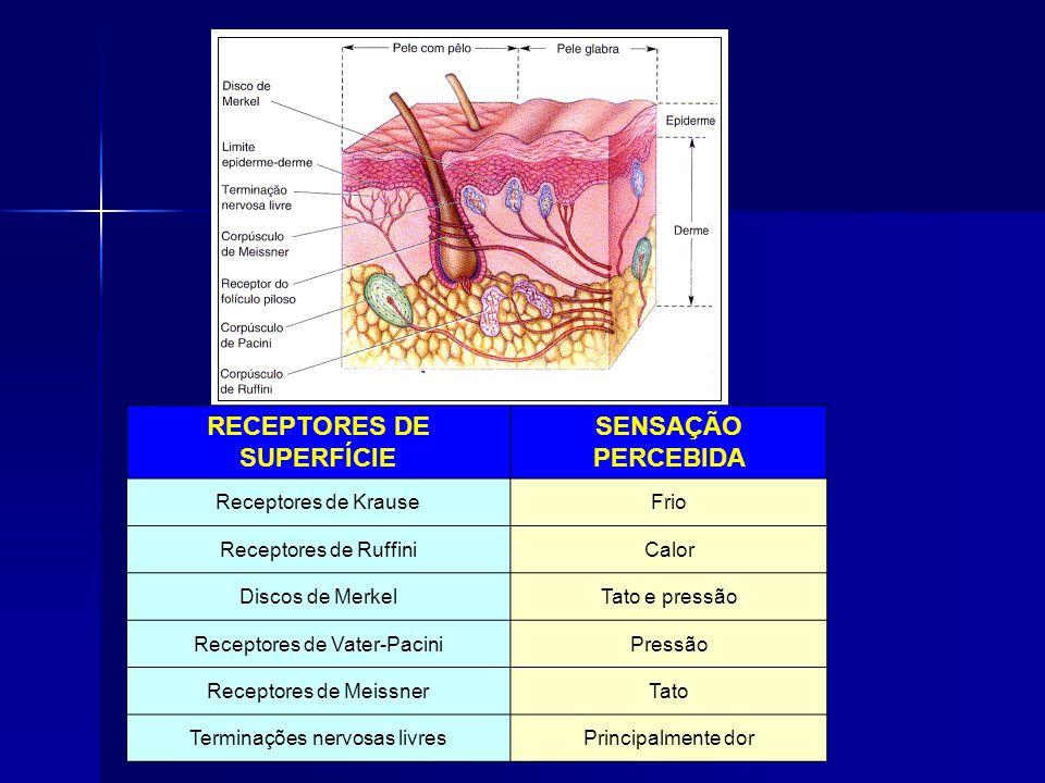 RECEPTORES DE SUPERFÍCIE SENSAÇÃO PERCEBIDA Receptores de KrauseFrio Receptores de RuffiniCalor Discos de MerkelTato e pressão Receptores de Vater-PaciniPressão Receptores de MeissnerTato Terminações nervosas livresPrincipalmente dor