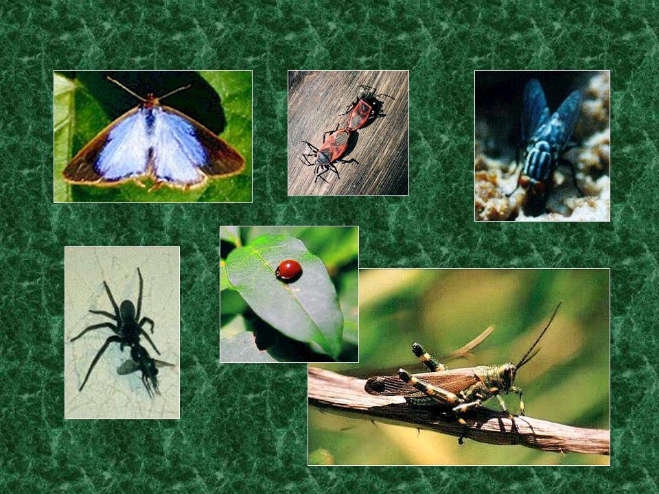 OS INSECTOS •Os insectos têm duas antenas e seis patas.