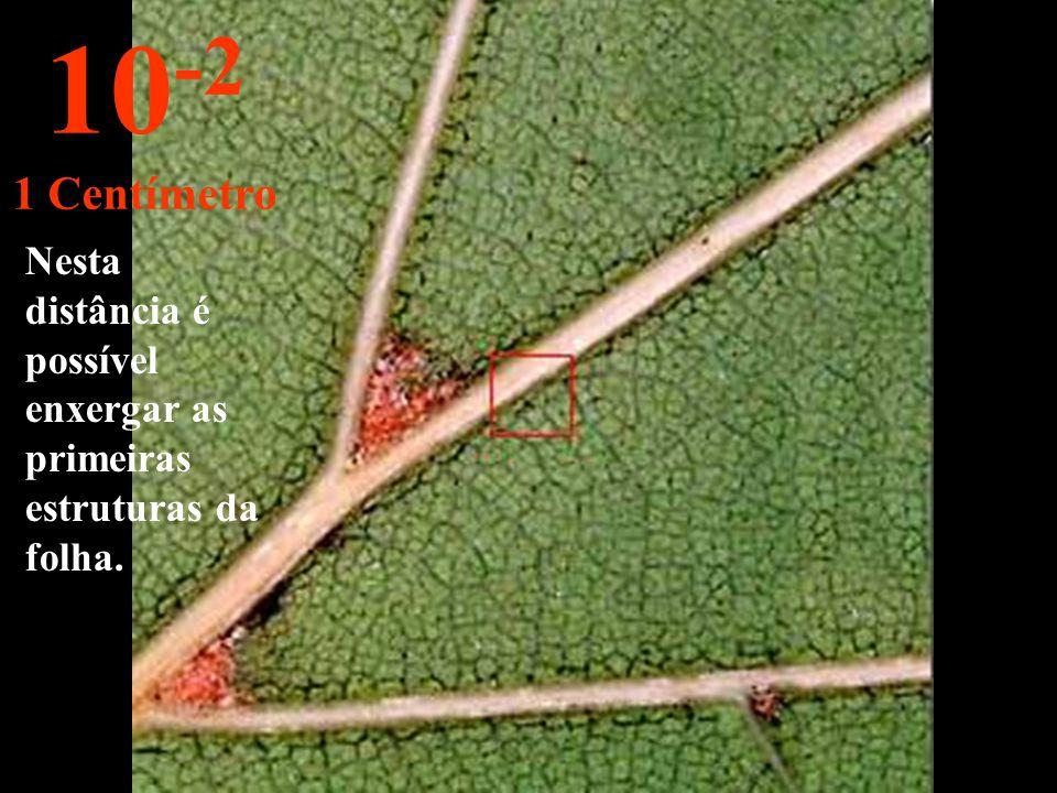 Aproximando há 10 cm delineamos uma folha do ramo. 10 -1 10 Centímetros