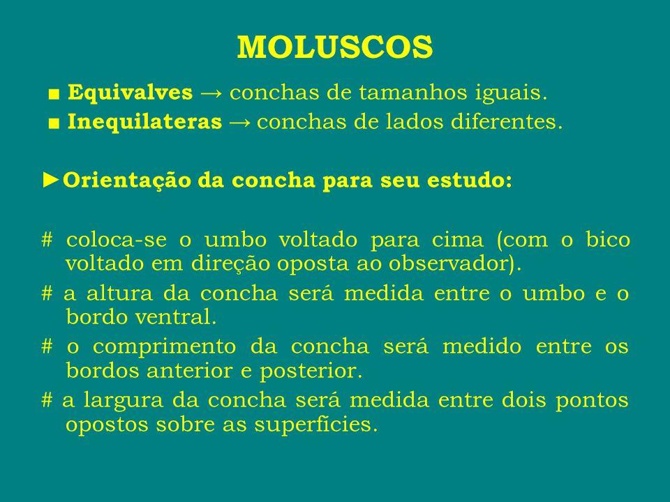 MOLUSCOS ■ Equivalves → conchas de tamanhos iguais. ■ Inequilateras → conchas de lados diferentes. ► Orientação da concha para seu estudo: # coloca-se
